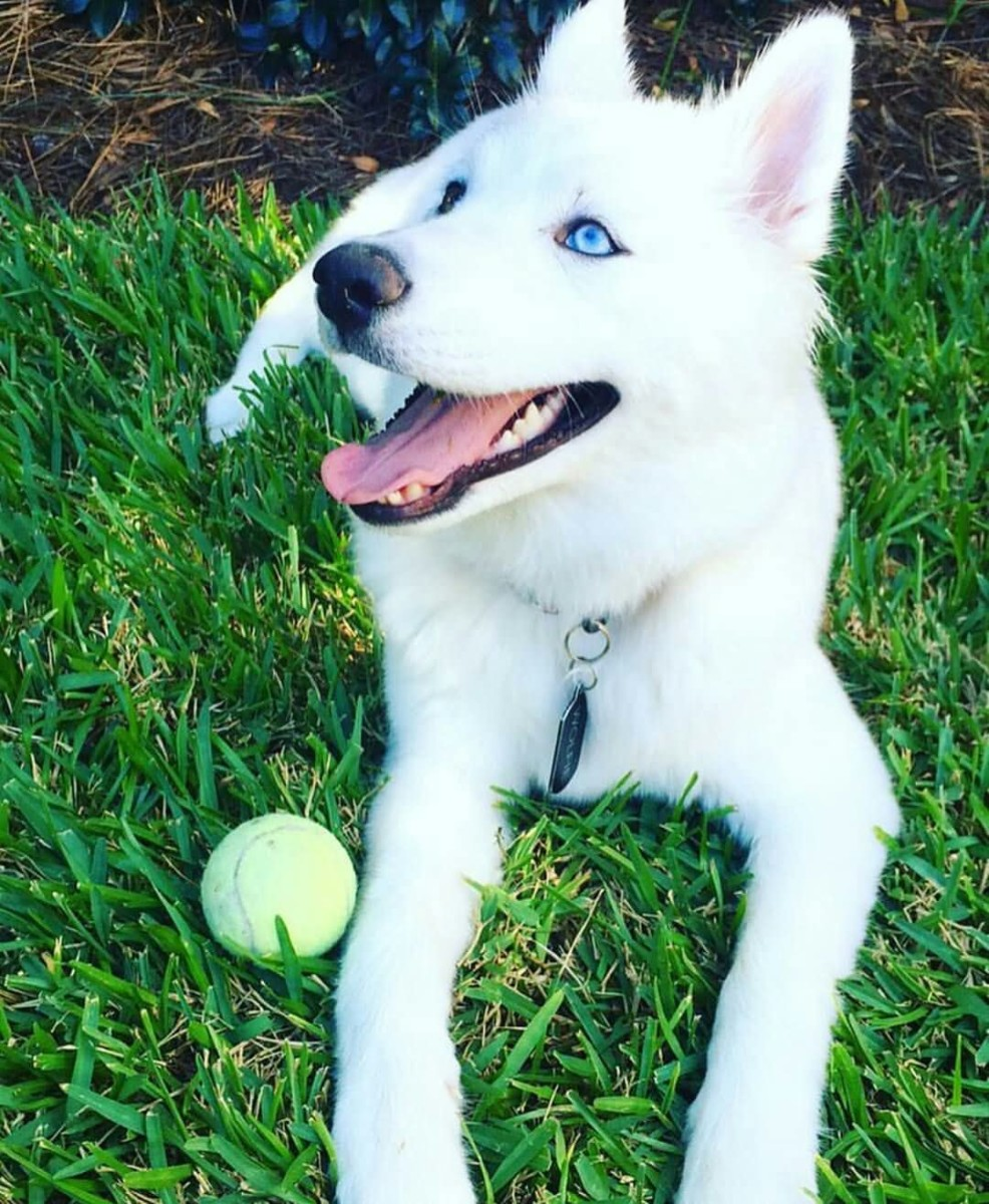 20 Amazing Husky Dog Pictures, Images, Photos & Wallpapers