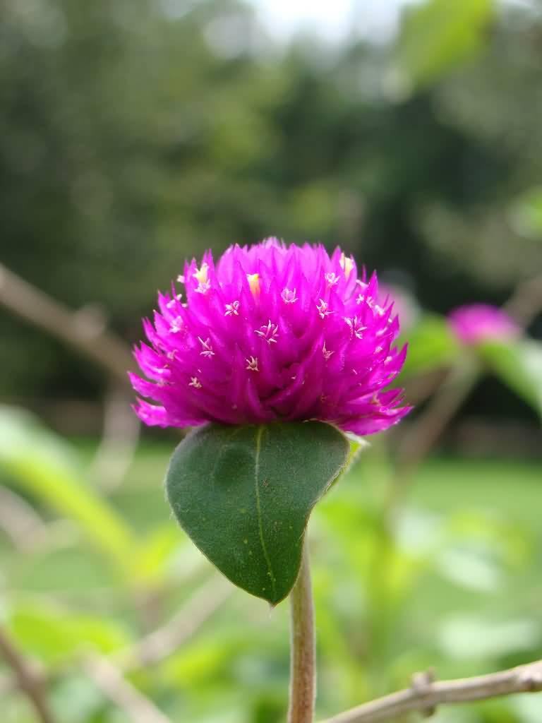 Amaranth Flower