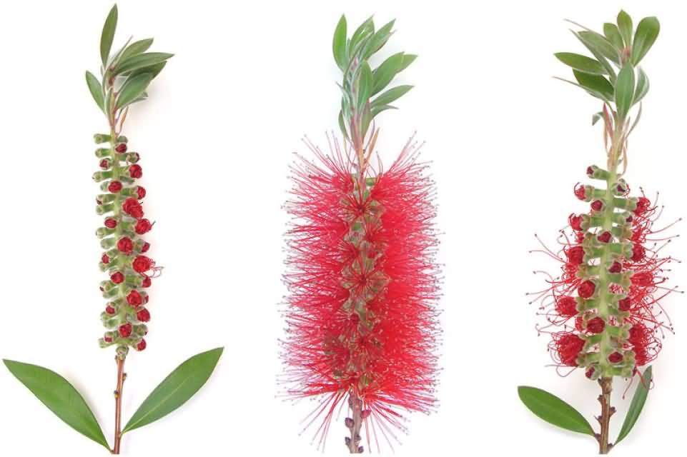 Bottlebrush Flower