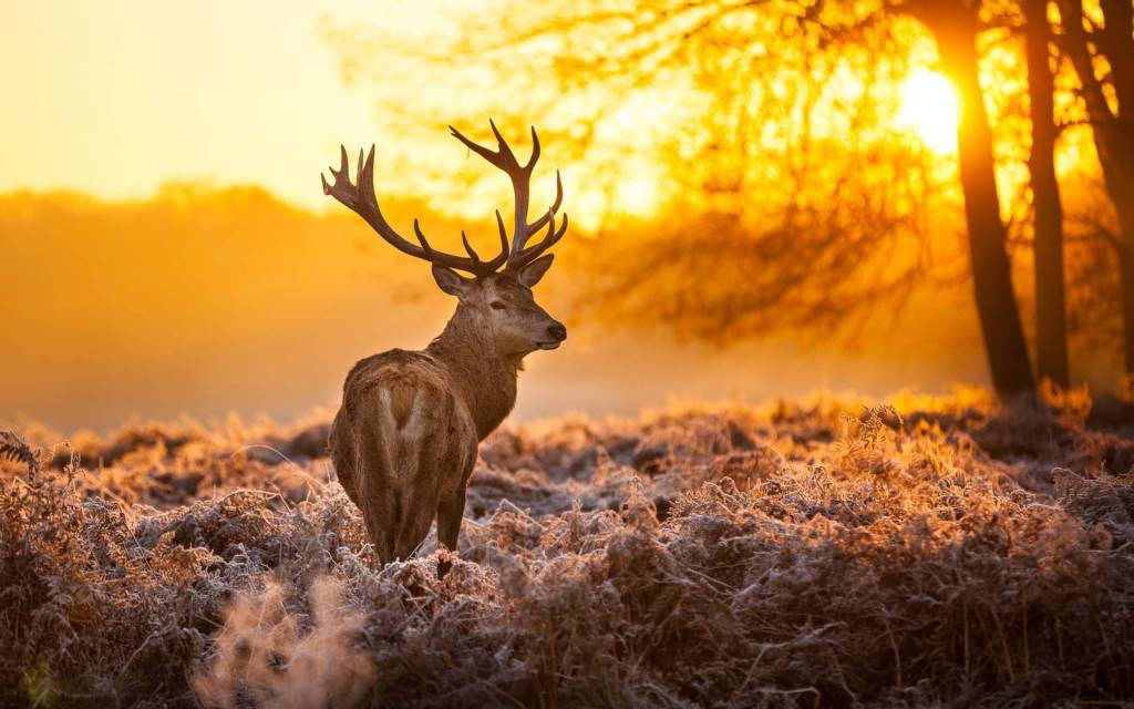 Wild deer pictures wallpaper