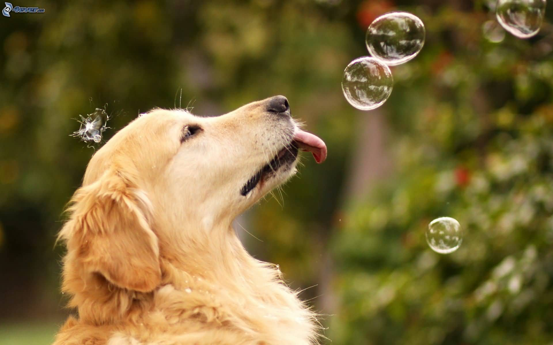 Lovely Golden Retriever Dog With Beautiful BAckground
