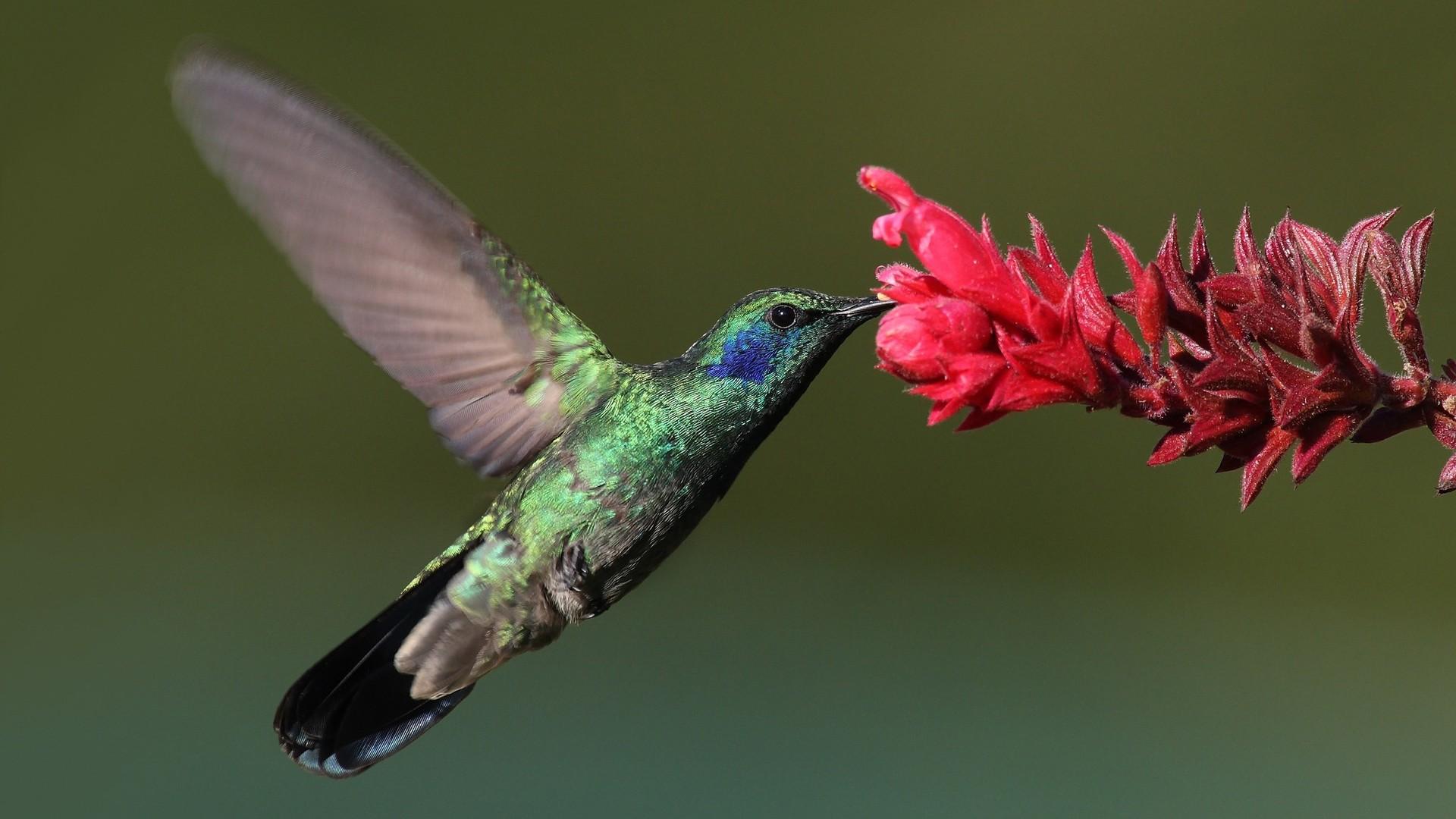 Green Violetear At A Flower